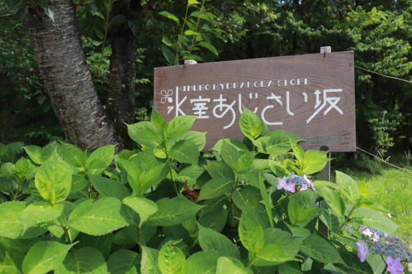 紫陽花 アジサイ 栃木県 梅雨