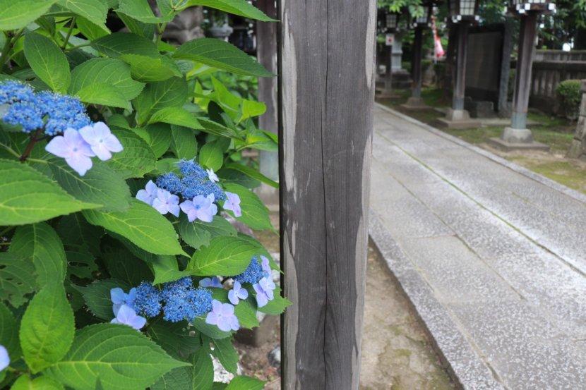 栃木県さくら市 今宮神社 紫陽花 あじさい アジサイ 梅雨
