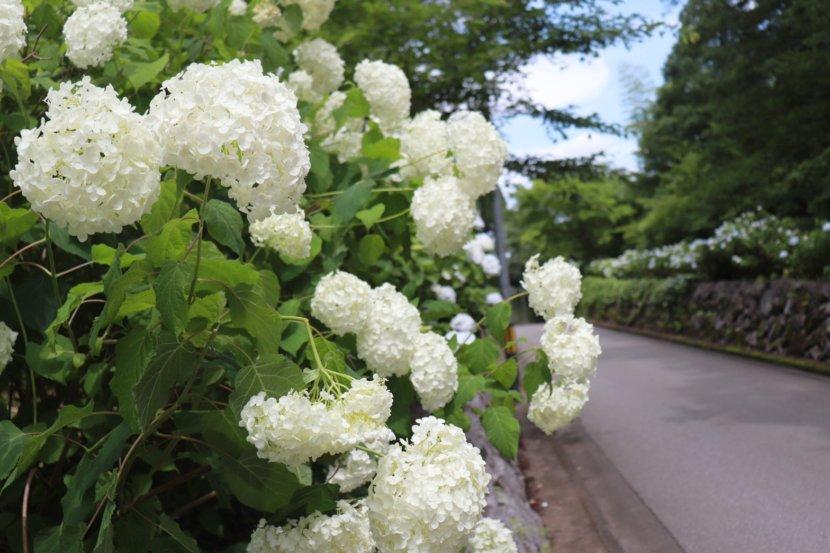 氷室あじさい坂 紫陽花 アジサイ 栃木県 梅雨